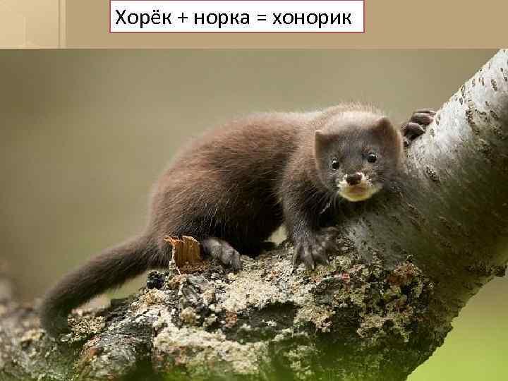 Хорёк + норка = хонорик