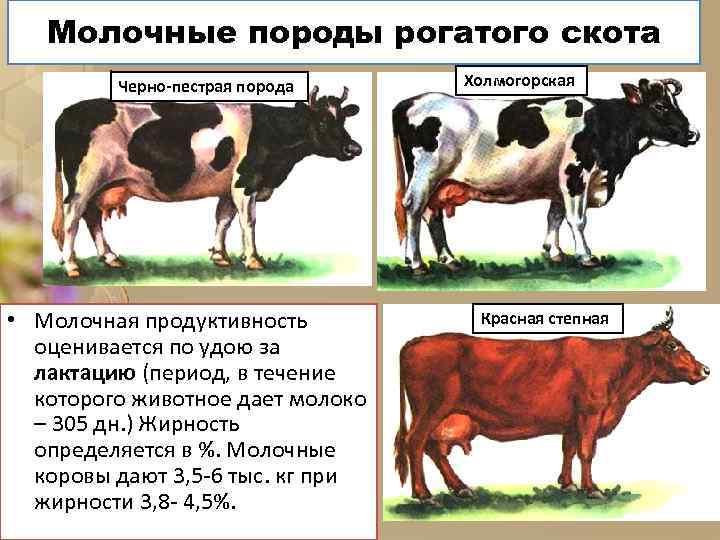 Молочные породы рогатого скота Черно-пестрая порода • Молочная продуктивность оценивается по удою за лактацию