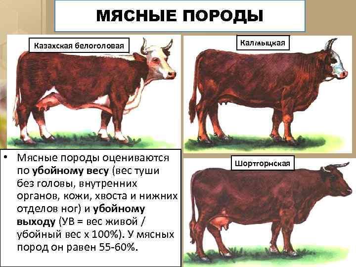 МЯСНЫЕ ПОРОДЫ Казахская белоголовая • Мясные породы оцениваются по убойному весу (вес туши без
