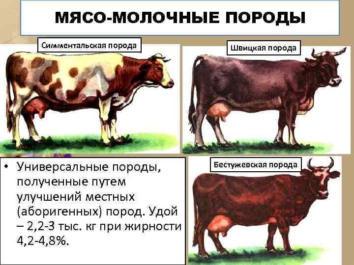 МЯСО-МОЛОЧНЫЕ ПОРОДЫ Симментальская порода • Универсальные породы, полученные путем улучшений местных (аборигенных) пород. Удой