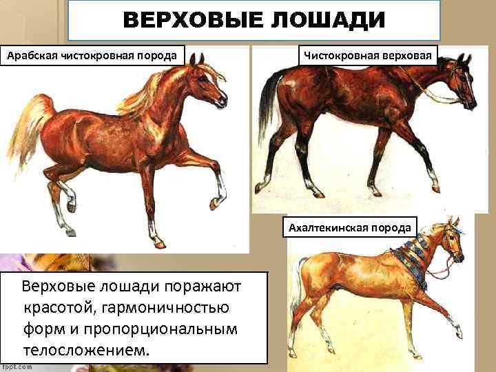 ВЕРХОВЫЕ ЛОШАДИ Арабская чистокровная порода Чистокровная верховая Ахалтекинская порода Верховые лошади поражают красотой, гармоничностью