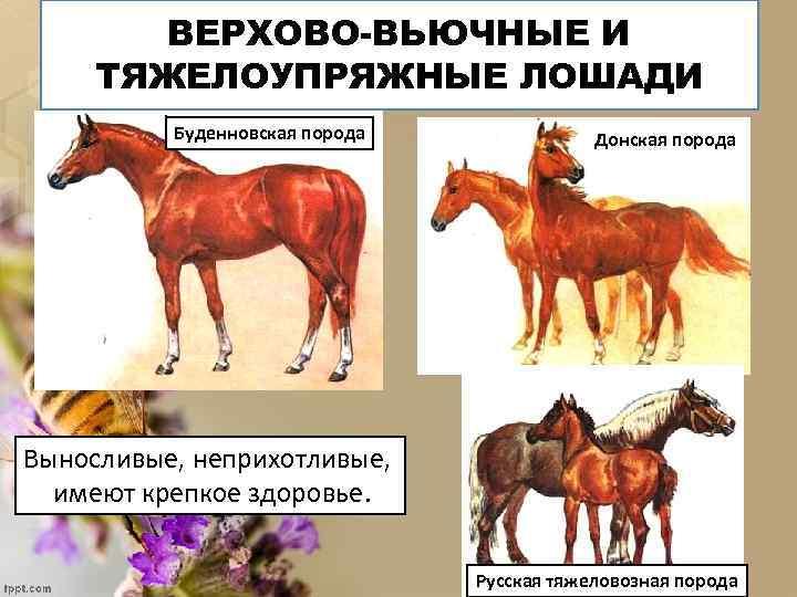 ВЕРХОВО-ВЬЮЧНЫЕ И ТЯЖЕЛОУПРЯЖНЫЕ ЛОШАДИ Буденновская порода Донская порода Выносливые, неприхотливые, имеют крепкое здоровье. Русская