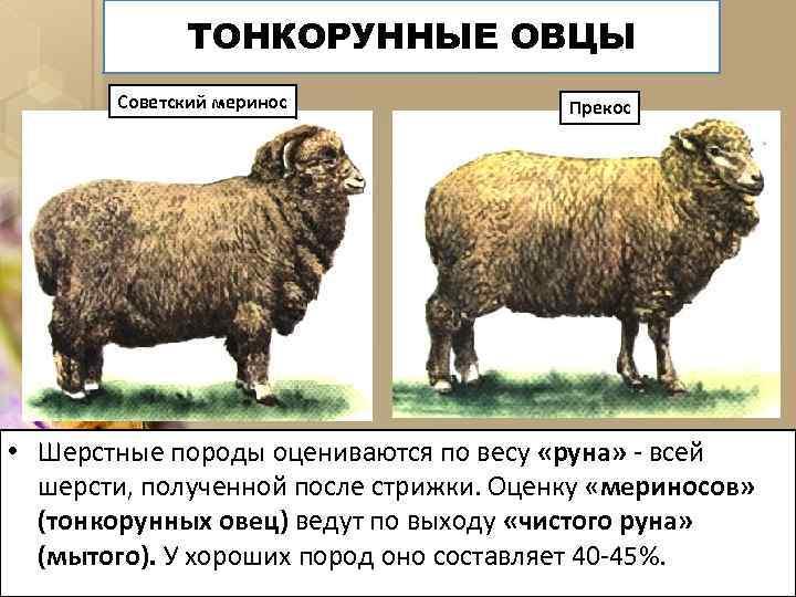 ТОНКОРУННЫЕ ОВЦЫ Советский меринос Прекос • Шерстные породы оцениваются по весу «руна» - всей