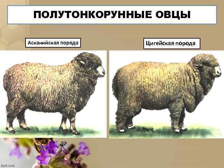 ПОЛУТОНКОРУННЫЕ ОВЦЫ Асканийская порода Цигейская порода