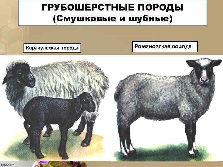 ГРУБОШЕРСТНЫЕ ПОРОДЫ (Смушковые и шубные) Каракульская порода Романовская порода