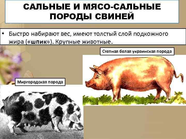 САЛЬНЫЕ И МЯСО-САЛЬНЫЕ ПОРОДЫ СВИНЕЙ • Быстро набирают вес, имеют толстый слой подкожного жира