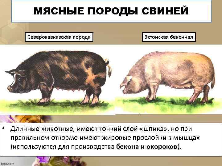 МЯСНЫЕ ПОРОДЫ СВИНЕЙ Северокавказская порода Эстонская беконная • Длинные животные, имеют тонкий слой «шпика»