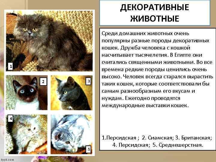 ДЕКОРАТИВНЫЕ ЖИВОТНЫЕ 1 2 3 Среди домашних животных очень популярны разные породы декоративных кошек.