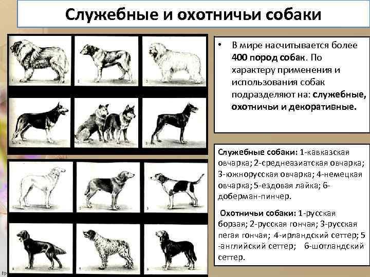 Служебные и охотничьи собаки • В мире насчитывается более 400 пород собак. По характеру