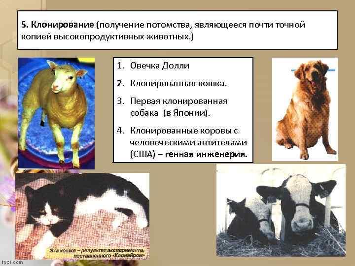 5. Клонирование (получение потомства, являющееся почти точной копией высокопродуктивных животных. ) 1. Овечка Долли