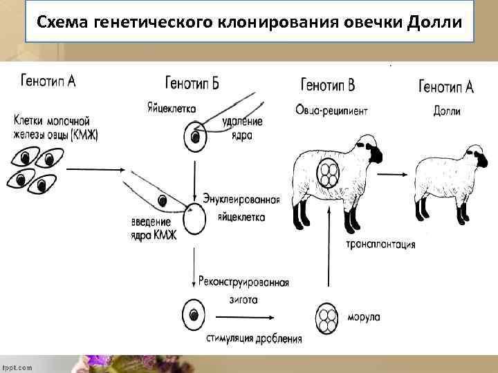 Схема генетического клонирования овечки Долли