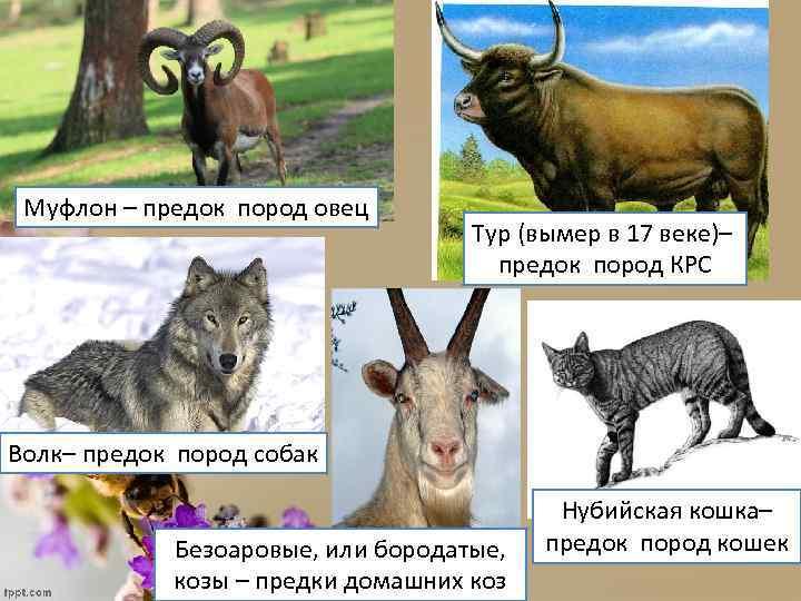 Муфлон – предок пород овец Тур (вымер в 17 веке)– предок пород КРС Волк–