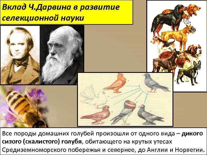 Вклад Ч. Дарвина в развитие селекционной науки Все породы домашних голубей произошли от одного