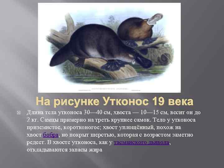 На рисунке Утконос 19 века Длина тела утконоса 30— 40 см, хвоста — 10—