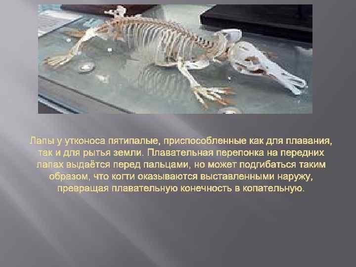Лапы у утконоса пятипалые, приспособленные как для плавания, так и для рытья земли. Плавательная