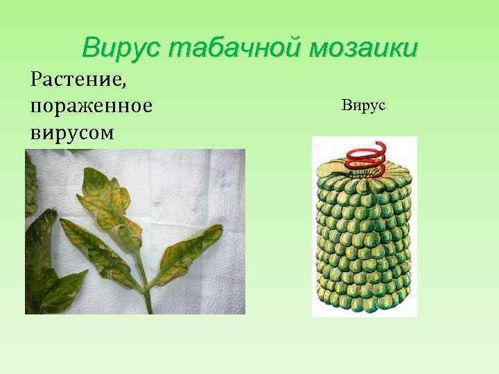 Вирус табачной мозаики Растение, пораженное вирусом Вирус