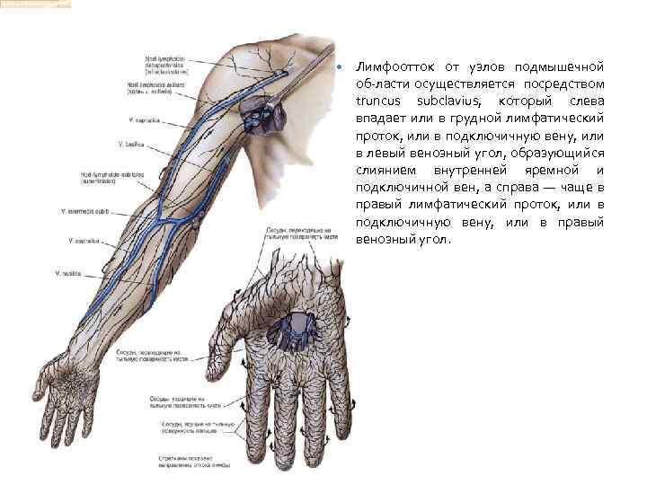 Лимфоотток от узлов подмышечной об ласти осуществляется посредством truncus subclavius, который слева впадает