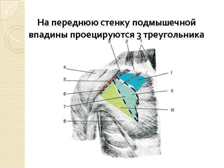 На переднюю стенку подмышечной впадины проецируются 3 треугольника