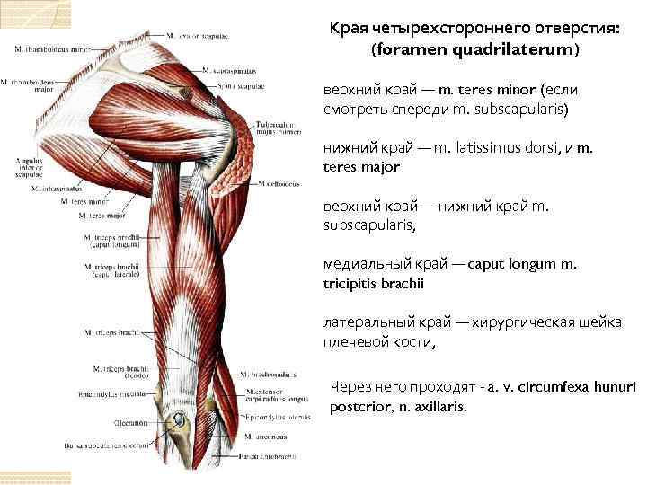 Края четырехстороннего отверстия: (foramen quadrilaterum) верхний край — m. teres minor (если смотреть спереди