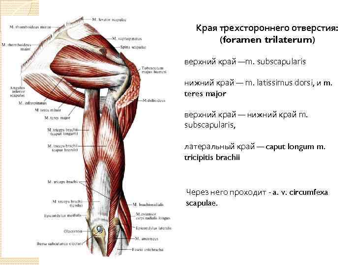 Края трехстороннего отверстия: (foramen trilaterum) верхний край —m. subscapularis нижний край — m. latissimus