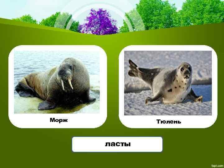 Морж Тюлень ласты