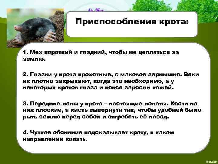 Приспособления крота: 1. Мех короткий и гладкий, чтобы не цепляться за землю. 2. Глазки
