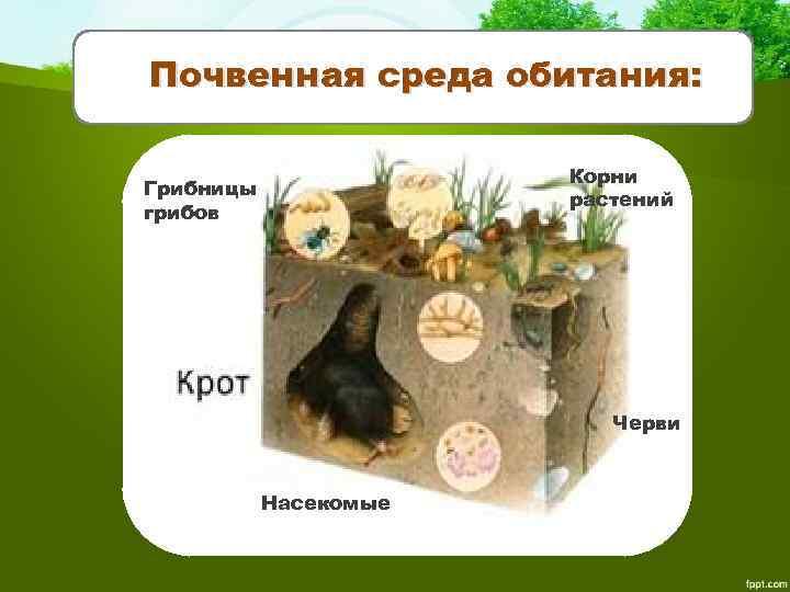 Почвенная среда обитания: Корни растений Грибницы грибов Черви Насекомые