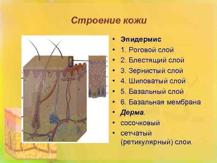 Строение кожи • • • Эпидермис 1. Роговой слой 2. Блестящий слой 3. Зернистый