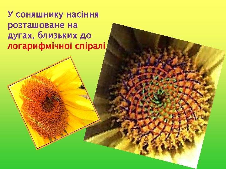 У соняшнику насіння розташоване на дугах, близьких до логарифмічної спіралі