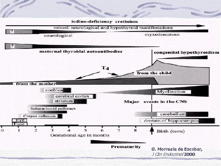 G. Morreale de Escobar, J Clin Endocrinol 2000