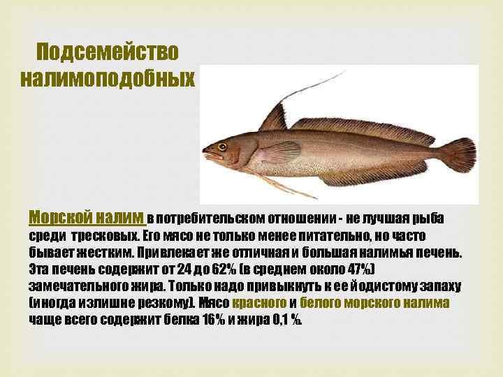 Подсемейство налимоподобных Морской налим в потребительском отношении не лучшая рыба среди тресковых. Его мясо