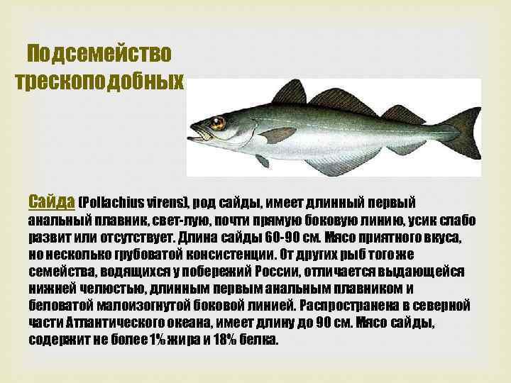 Подсемейство трескоподобных Сайда (Pollachius virens), род сайды, имеет длинный первый анальный плавник, свет лую,