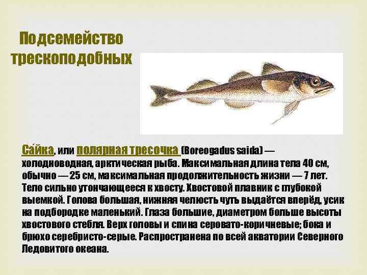 Подсемейство трескоподобных Са йка, или полярная тресочка (Boreogadus saida) — холодноводная, арктическая рыба. Максимальная