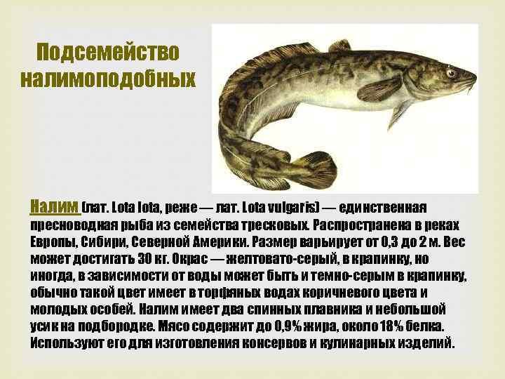 Подсемейство налимоподобных Налим (лат. Lota lota, реже — лат. Lota vulgaris) — единственная пресноводная