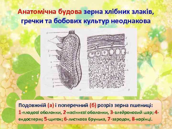 Анатомічна будова зерна хлібних злаків, гречки та бобових культур неоднакова Подовжній (а) і поперечний