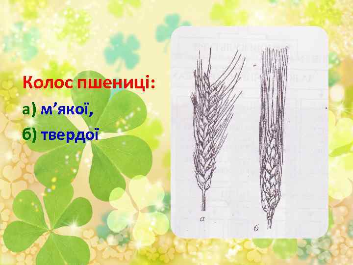 Колос пшениці: а) м'якої, б) твердої