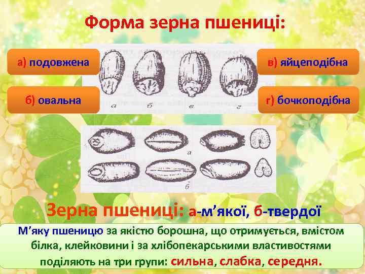 Форма зерна пшениці: а) подовжена в) яйцеподібна б) овальна г) бочкоподібна Зерна пшениці: а-м'якої,
