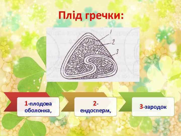 Плід гречки: 1 -плодова оболонка, 2 - ендосперм, 3 -зародок