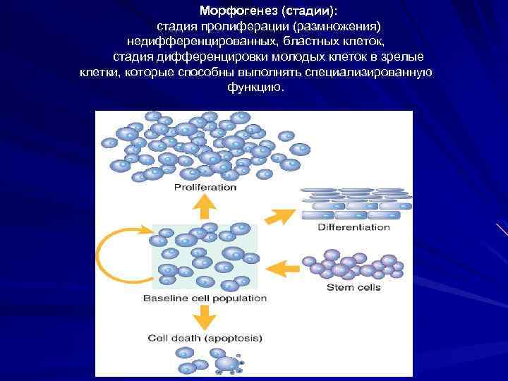Морфогенез (стадии): стадия пролиферации (размножения) недифференцированных, бластных клеток, стадия дифференцировки молодых клеток в зрелые