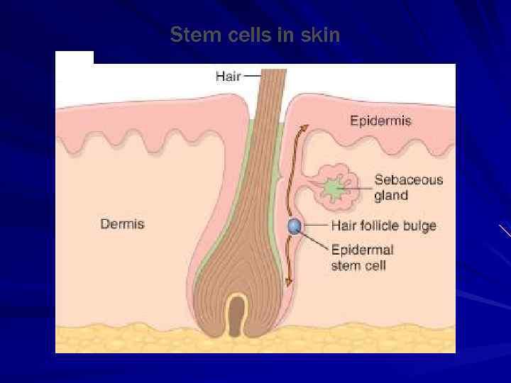 Stem cells in skin