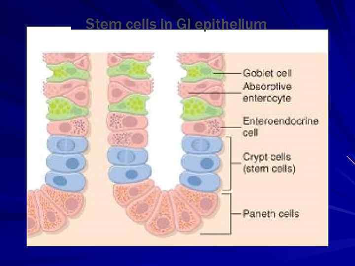 Stem cells in GI epithelium