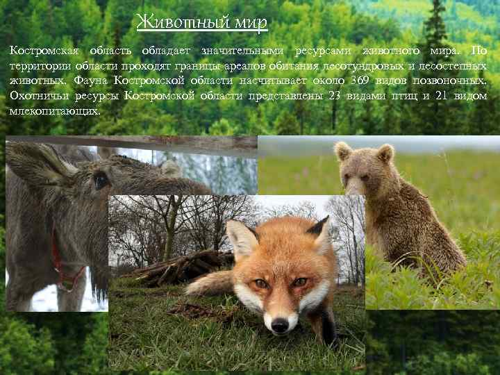 Животный мир Костромская область обладает значительными ресурсами животного мира. По территории области проходят границы