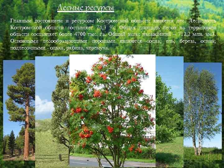 Лесные ресурсы Главным достоянием и ресурсом Костромской области является лес. Лесистость Костромской области составляет