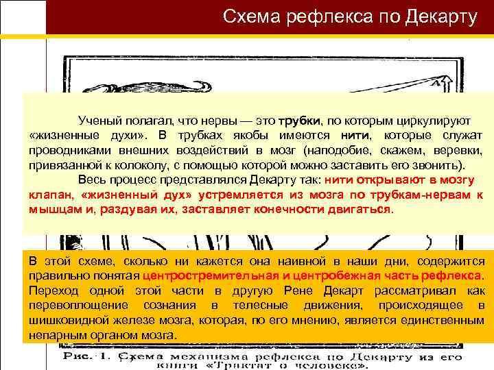 Схема рефлекса по Декарту Ученый полагал, что нервы — это трубки, по которым циркулируют