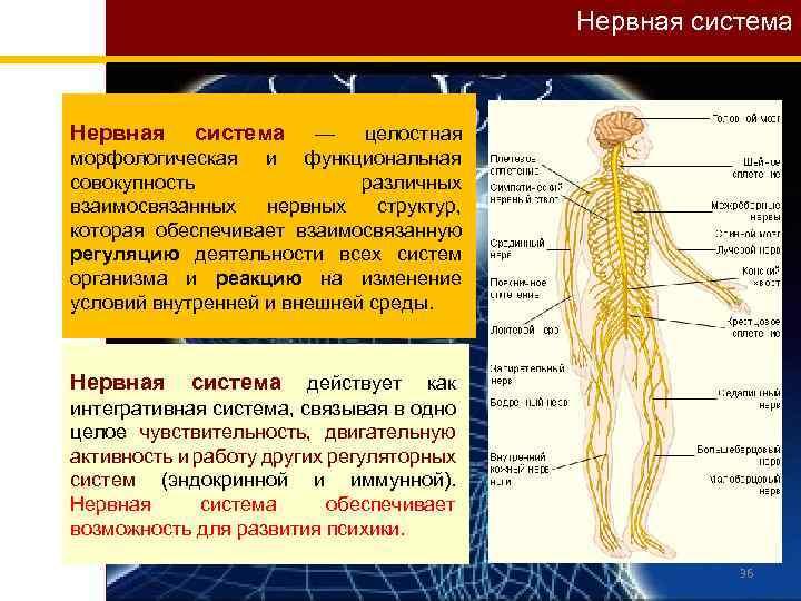 Нервная система Нервная система — целостная морфологическая и функциональная совокупность различных взаимосвязанных нервных структур,