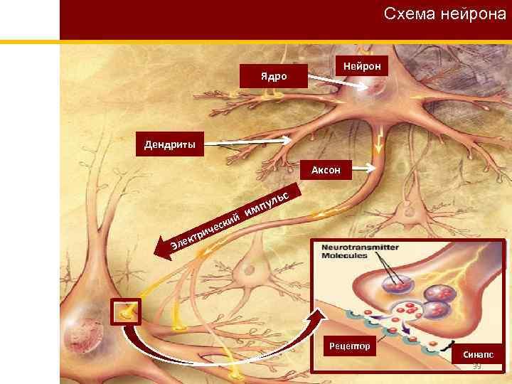 Схема нейрона Нейрон Ядро Дендриты Аксон ий еск ьс пул м и ч ри