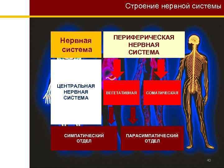 Строение нервной системы Нервная система ЦЕНТРАЛЬНАЯ НЕРВНАЯ СИСТЕМА СИМПАТИЧЕСКИЙ ОТДЕЛ ПЕРИФЕРИЧЕСКАЯ НЕРВНАЯ СИСТЕМА ВЕГЕТАТИВНАЯ