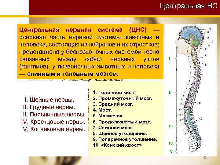Центральная НС Центральная нервная система (ЦНС) — основная часть нервной системы животных и человека,