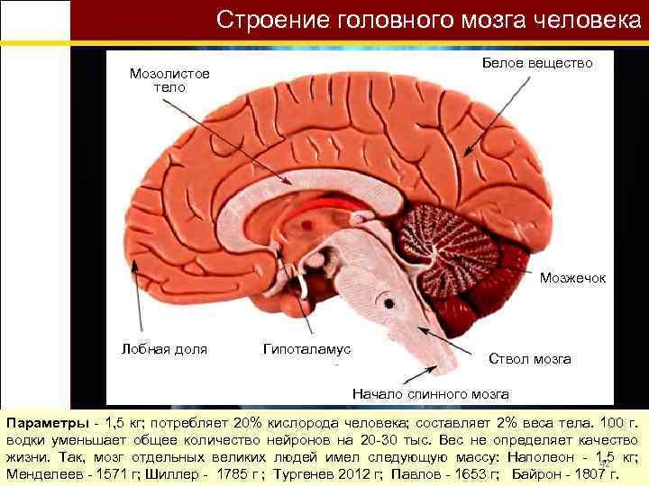 Строение головного мозга человека Белое вещество Мозолистое тело Мозжечок Лобная доля Гипоталамус Ствол мозга