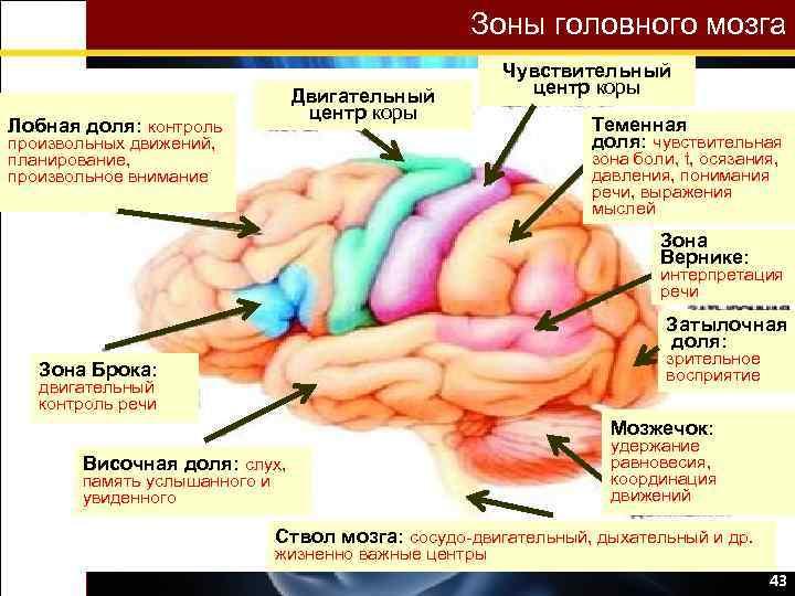 Зоны головного мозга Двигательный центр коры Лобная доля: контроль произвольных движений, планирование, произвольное внимание